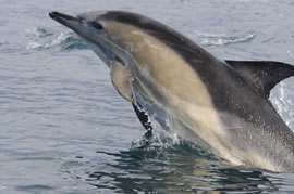 The short-beaked common dolphin is a hydronamically designed pelagic delphinid and one of 30 neritic marine animals listed as an indicator of climate change.