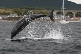 A breaching bottlenose dolphin in Cullen Bay.