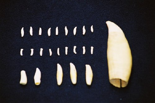 The teeth can be used to identify families and even age cetaceans once they have passed away.