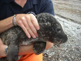 Seals and other marine wildlife also form a considerable component of the CRRU rescue effort.