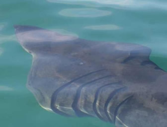 First basking shark of the year in the calm clear waters of Fraserburgh Bay