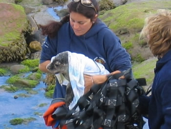 Recovering a poorly young grey seal that the volunteers named Biscuit