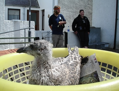 One of our casualties (a young herring gull) recuperating in our washing basket
