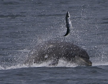 Fishtastic - a bottlenose tosses its prey out of the water