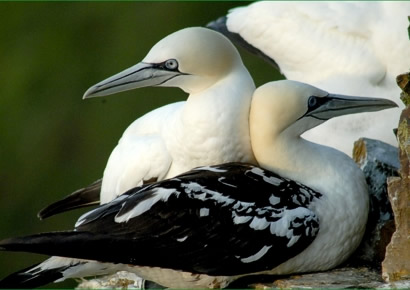 The sensational gannets at Troup Head, photographed through the telescope