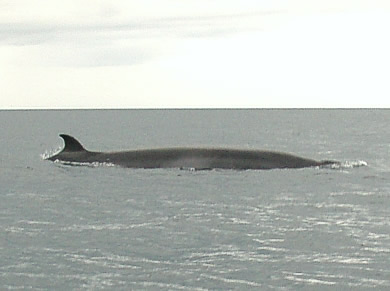 The minke whales proved to quite elusive in 2007, but team 9 were treated to an encounter with this one on their last day