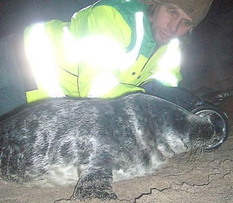 Grey seal pups keeping us busy through December!