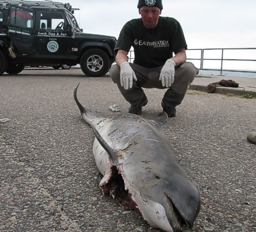 Call-out to the second largest stranded harbour porpoise (at 1.78 m) ever recorded in Scotland