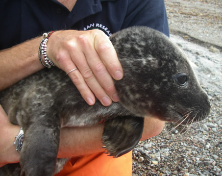 Our first common seal call-out in 2008. After being given a thorough check-over, she turned out to be in fine health and was released immediately