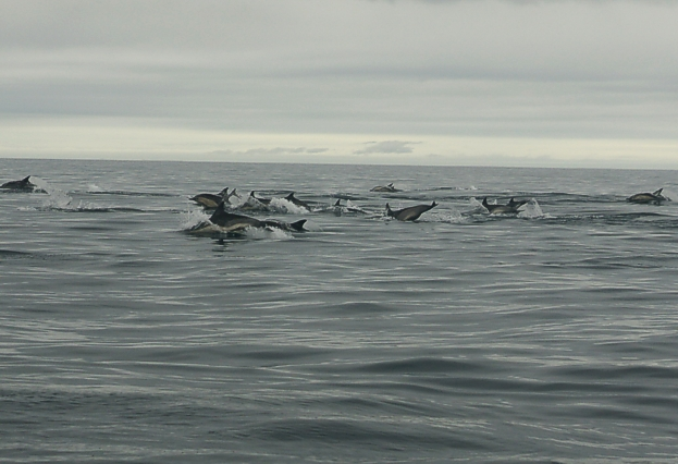 450+ common dolphins!!!