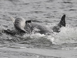 An attack on a young bottlenose calf by an adult male left the research team shocked.