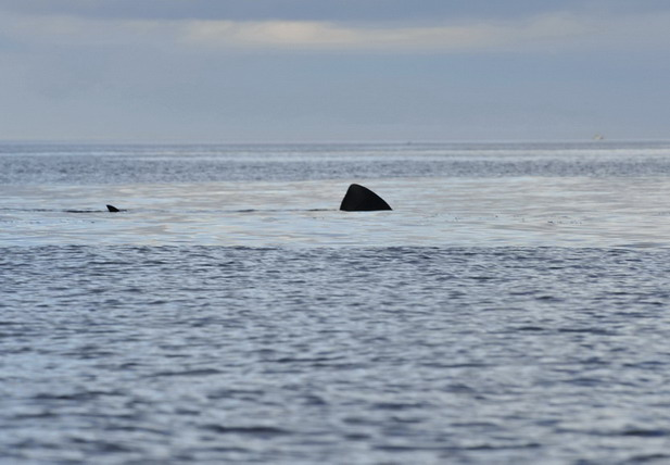 Basking sharks a plenty in October!