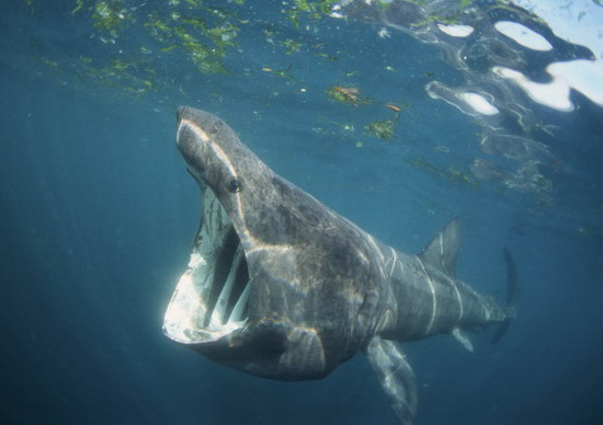 Highlight of the year, underwater viewing of an 8.5 metre basking shark! Awesome!!!