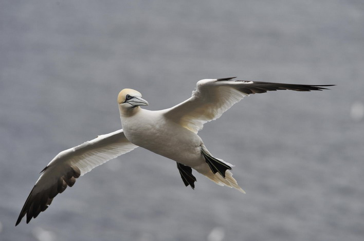 Amazing gannets at Troup