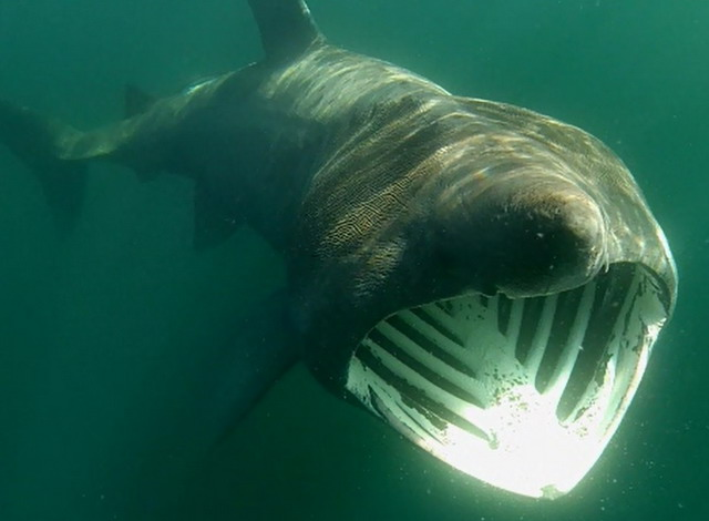 Magnificent basking shark action in August filmed with our GoPro